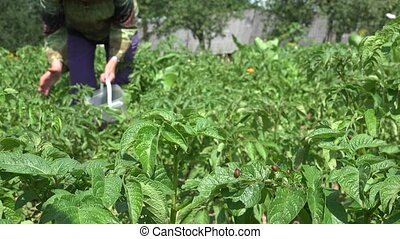 Colorado beetle larva on potato plants and farmer woman work. 4K