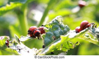 Colorado beetle larvae - Colorado potato beetle larvae,...