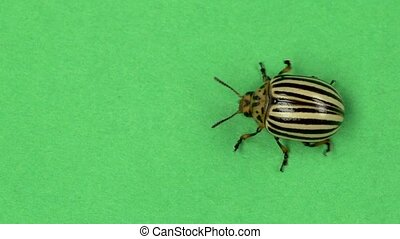 Colorado beetle on green screen . Slow motion