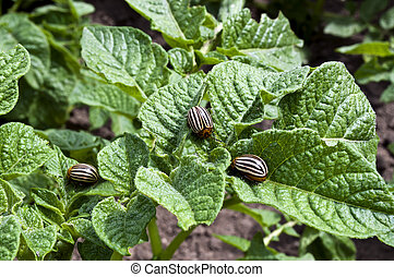 Colorado beetle on potato leaves, a few beetles eat the...