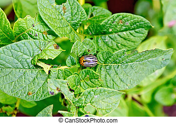 Colorado beetle on potato leaves - Striped colorado beetle...