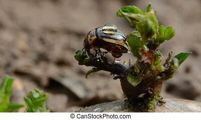 colorado beetle on potato sprout