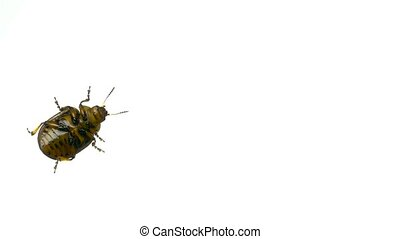 Colorado beetle on white background. bottom view - Colorado...