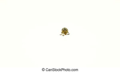 Colorado beetle on white background