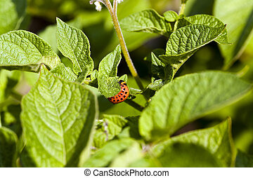 Colorado beetle potato - Colorado potato beetle larva...