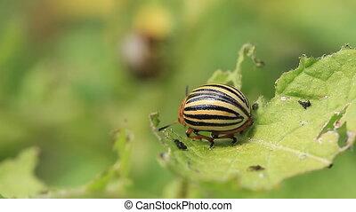 Colorado beetle sits on a leaf of potato