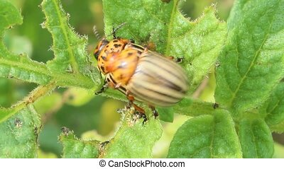 colorado beetle sits on the leaves of potatoes - colorado...