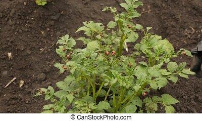 colorado beetles its larvae sitting on the leaf of potato....