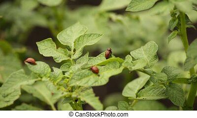 colorado beetles its larvae sitting on the leaf of potato.