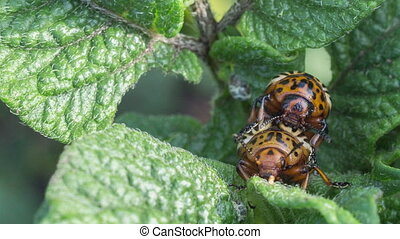Colorado beetles - Two Colorado potato beetle on potato...