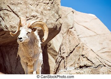 Colorado Bighorn Sheep on the Rocks.