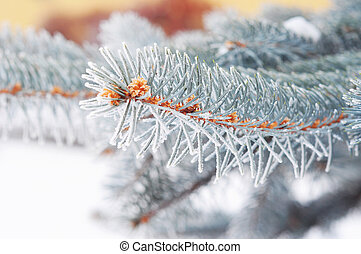 Colorado blue spruce with hoarfrost. Christmas tree with hoarfro