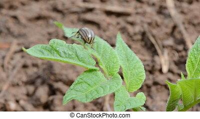 colorado bug on spring potato leaf
