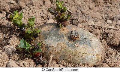colorado bug on spring potato