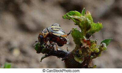 colorado bug with rain drops