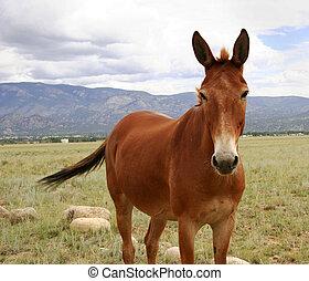 Colorado pony in pasture - Close up of horse in Colorado ...