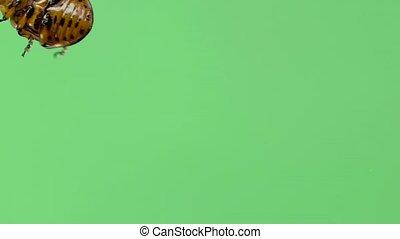 Colorado potato beetle bug walking on green screen. bottom view. Slow motion