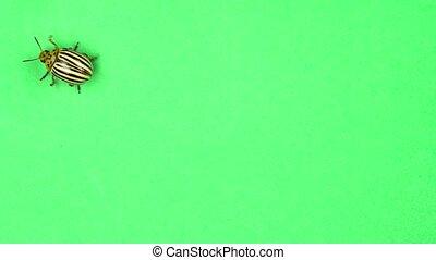 Colorado potato beetle bug walking on green screen