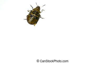 Colorado potato beetle bug walking on white background. bottom view