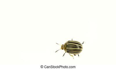 Colorado potato beetle bug walking on white background