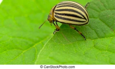 Colorado potato beetle eats leaves close up. Slow motion -...