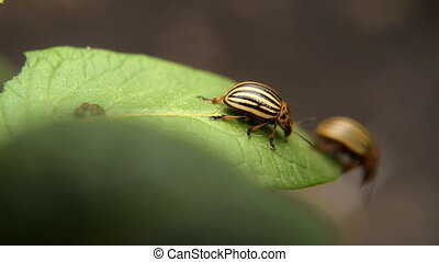 Colorado potato beetle eats potato leaves potatoes in the...