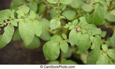 Colorado potato beetle eats potato leaves potatoes in the...