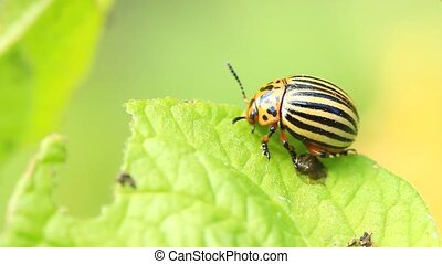 Colorado potato beetle eats a leaf