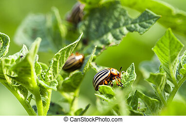 Colorado potato beetle in the field - colorado beetle...