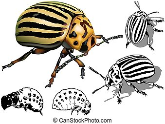 Colorado Potato Beetle Set (Leptinotarsa decemlineata) -...