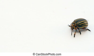 colorado potato bug - macro of potato beetle bug walking on...