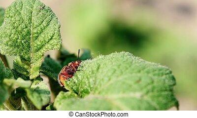 Colorado Potato Striped Beetle - Leptinotarsa Decemlineata...