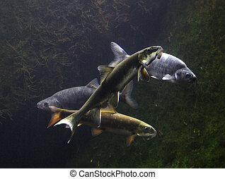 Fish of the Colorado River drainage system