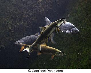 Colorado River Fish