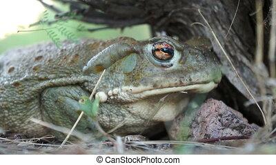 Colorado River Toad - Venomous Colorado River Toad, also...