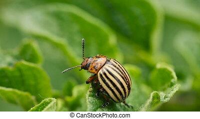 Colorado Striped Beetle - Leptinotarsa Decemlineata Crawling...
