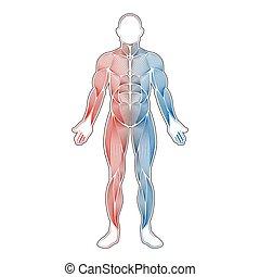 colorare, muscoli, due, umano
