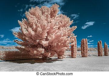 colorare, pino, infrarosso, cedro, albero, bianco