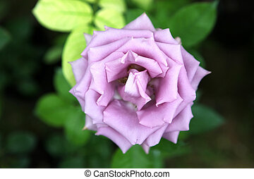 colorare, rose, immagine, -