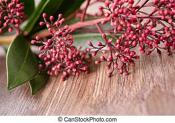 Sempreverde skimmia fiore arbusto dettaglio immagini d for Skimmia pianta