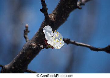 colored apple tree on a branch blooms in spring