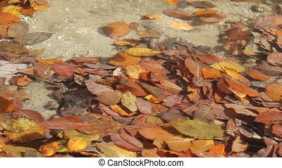 Colored autumn leaves in river