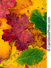 Colored autumnal leaves.