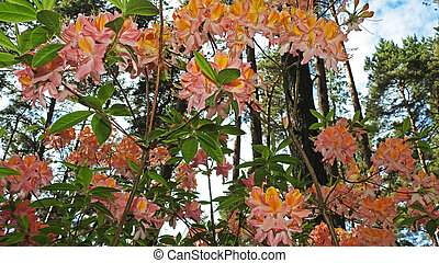 Colored big Rhododendrons Spring 2016 Latvias garden.