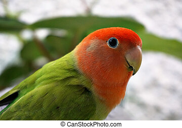 Colored bird agapornis pet parakeet - Image of colored cute ...