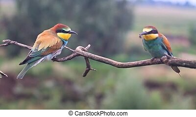 colored bird on the branch eat bees slow motion , wildlife and beautiful colors