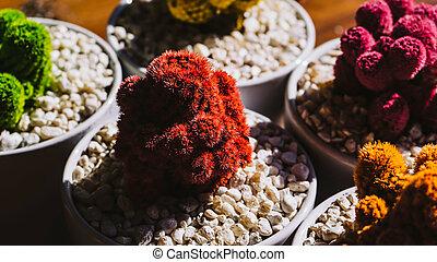 Colored cactus - Beautiful colored little cactus