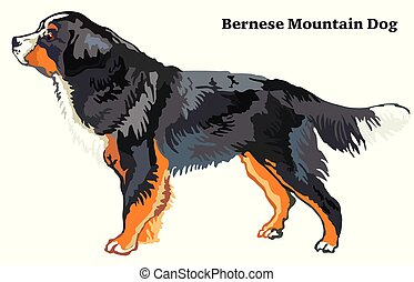 Colored decorative standing portrait of Bernese Mountain Dog vector illustration