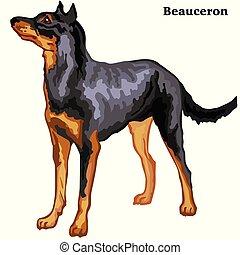 Colored decorative standing portrait of dog Beauceron vector illustration