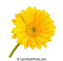 Colored gerber flower, close-up.